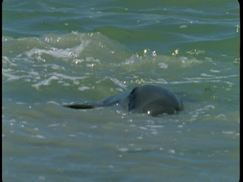 a dolphin feeds at the surface of the water - rückenflosse stock-videos und b-roll-filmmaterial