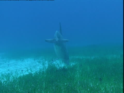 a dolphin feeds on a grassy seabed. - cetacea stock videos & royalty-free footage