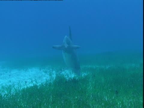 vídeos y material grabado en eventos de stock de a dolphin feeds on a grassy seabed. - cetáceo