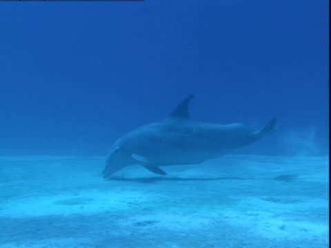 A dolphin feeds on a sandy seabed.