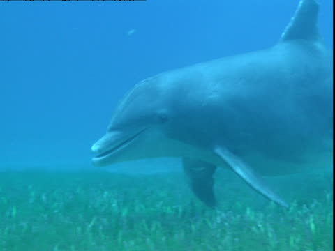 a dolphin feeds on a sandy seabed. - cetacea stock videos & royalty-free footage