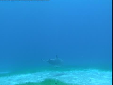 vídeos de stock e filmes b-roll de a dolphin feeds on a sandy seabed. - cetáceo