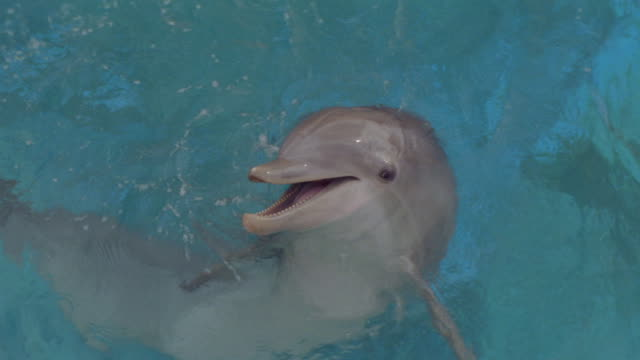 A dolphin flaps its flipper in clear blue water.