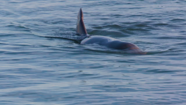 dolphin floats naturally on water - cetacea stock videos & royalty-free footage