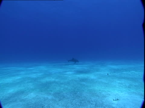 vídeos de stock e filmes b-roll de a dolphin forages along a sun dappled seabed then rises to the surface. - vir à superfície