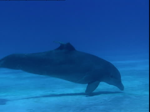 a dolphin glides across a sandy seabed in search of buried prey. - cetacea stock videos & royalty-free footage
