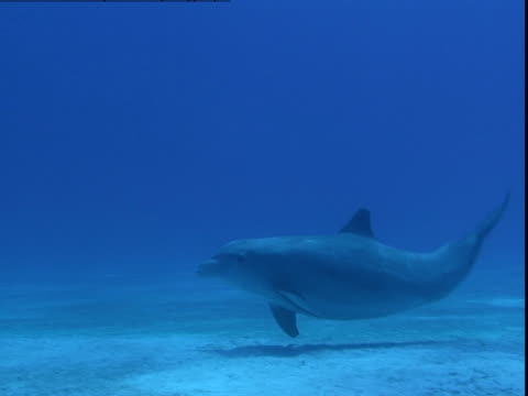 a dolphin glides across a sandy seabed searching for buried prey. - searching点の映像素材/bロール