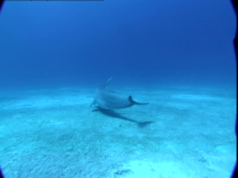 vidéos et rushes de a dolphin glides along a sandy seabed where it looks for food. - grand dauphin