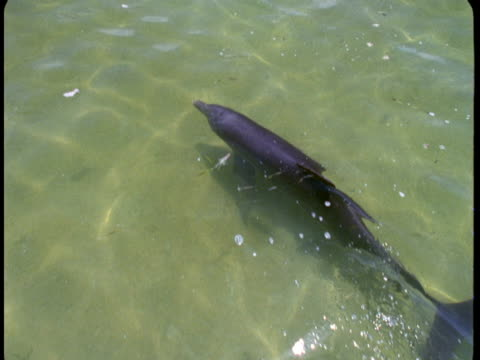 a dolphin glides through shallow water. - rückenflosse stock-videos und b-roll-filmmaterial