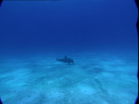 a dolphin hunts for prey along a sandy seabed. - cetacea stock videos & royalty-free footage