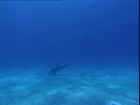 a dolphin hunts for prey along a sun-dappled seabed. - cetacea stock videos & royalty-free footage