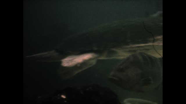 vídeos y material grabado en eventos de stock de dolphin in the water eating a fish a sea turtle swims by - cetáceo