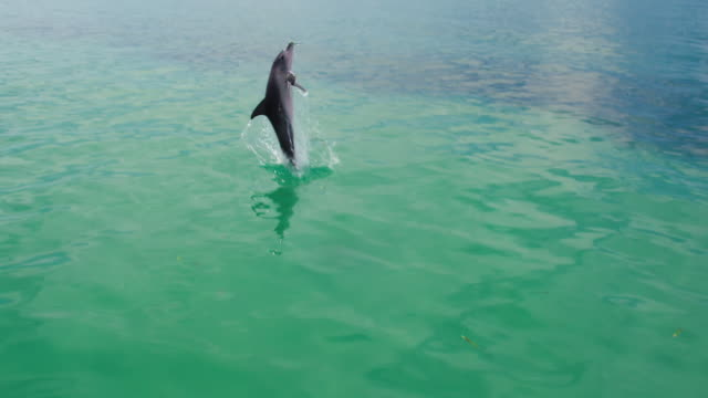 vidéos et rushes de dolphin jumping out of the water - grand dauphin