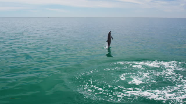 dolphin jumping out of the water - shark bay stock videos & royalty-free footage