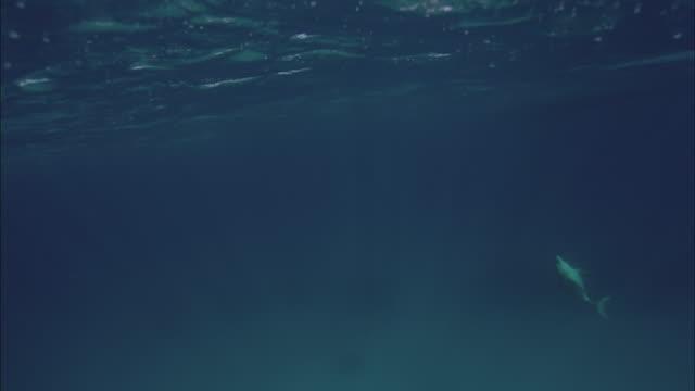 SLO MO WS Dolphin jumping out of water near boat / Moorea, Tahiti, French Polynesia