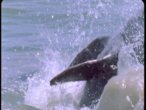a dolphin leaps from the water and splashes down as it catches fish. - cetacea stock videos & royalty-free footage