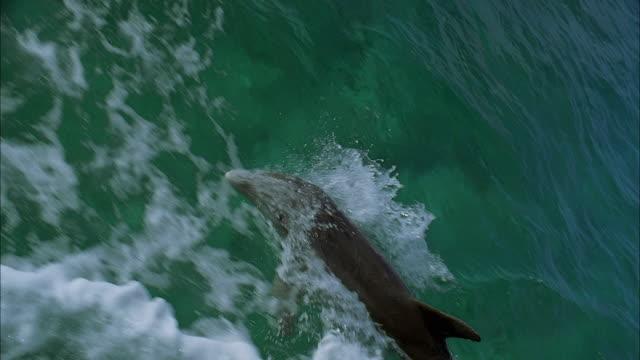 SLO MO WS TS Dolphin peeking out of water / Moorea, Tahiti, French Polynesia