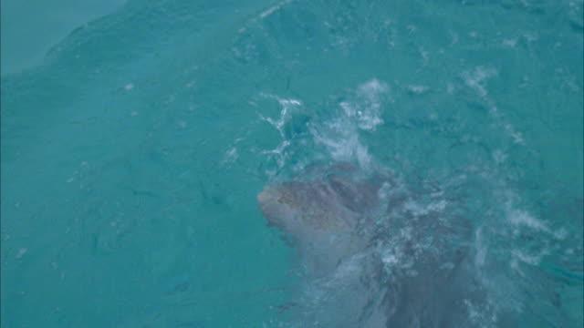 vidéos et rushes de ms pan tu dolphin playing in swimming pool - dauphin