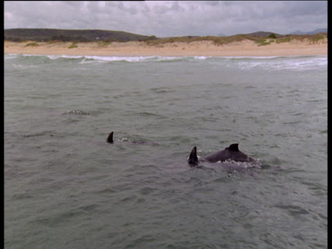 Dolphin pod porpoise along coast