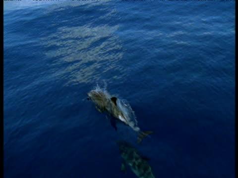 vidéos et rushes de dolphin pod porpoise, azores - remonter à la surface