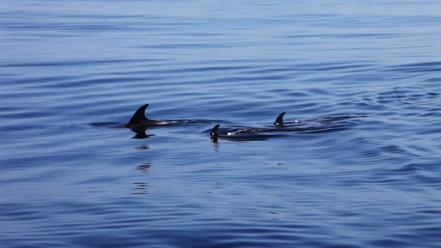 dolphin pod swims at surface of sargasso sea - pod group of animals stock videos & royalty-free footage