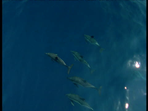 dolphin pod swims below water's surface, spain - cetacea stock videos & royalty-free footage