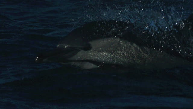 dolphin porpoises through blue sea. - bottle nosed dolphin stock videos & royalty-free footage