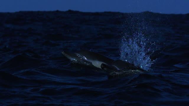 stockvideo's en b-roll-footage met dolphin porpoises through blue sea. - common dolphin