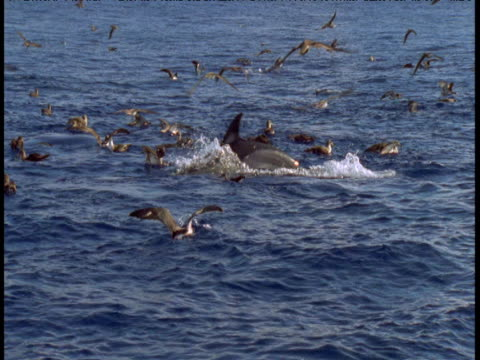 dolphin porpoises through cory's shearwaters swimming on surface of water, azores - common dolphin stock videos & royalty-free footage