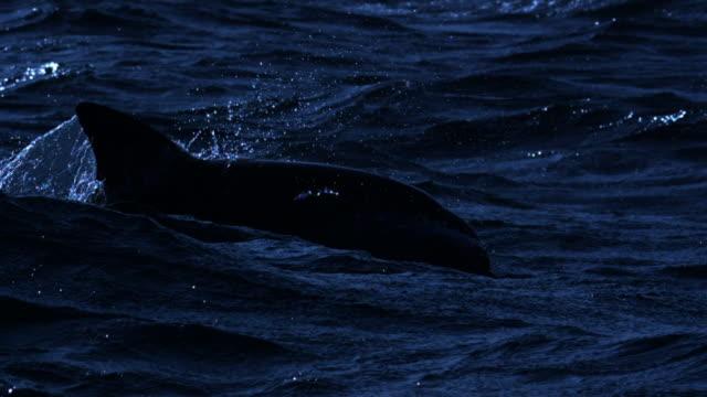 stockvideo's en b-roll-footage met dolphin porpoises through waves. - rugvin