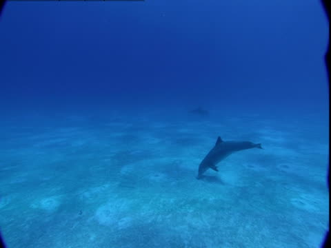 a dolphin searches a sandy seabed for buried prey. - cetacea stock videos & royalty-free footage