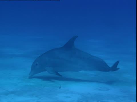 vídeos y material grabado en eventos de stock de a dolphin searches for buried prey along a sandy seabed. - cetáceo
