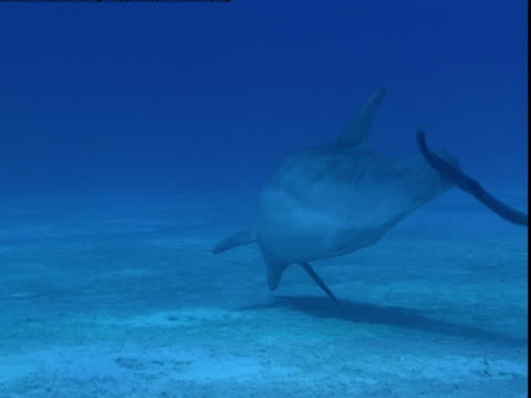 a dolphin searches for buried prey along a sandy seabed. - cetacea stock videos & royalty-free footage