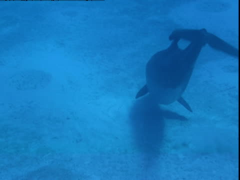 a dolphin searches for food along a sandy seabed. - cetacea stock videos & royalty-free footage