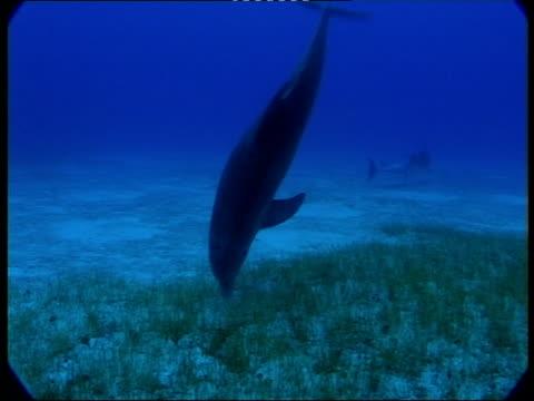 ms, dolphin searching for food at ocean floor, atlantic ocean, bahamas - cetacea stock videos & royalty-free footage