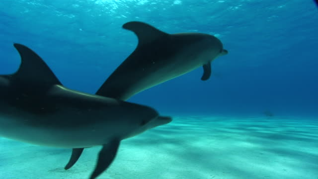 vidéos et rushes de ms pov tu dolphin searching for food on sandy  audio / florida, united states - grand dauphin