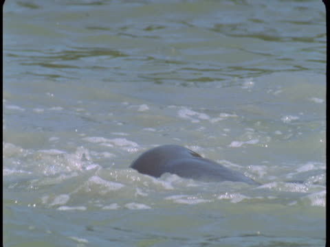 A dolphin surfaces and dives.