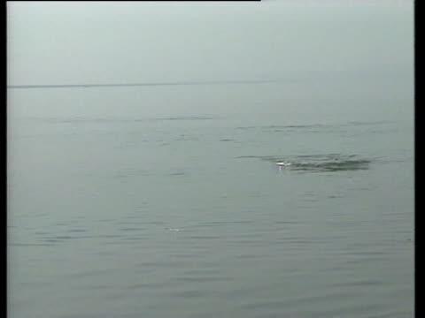 vídeos de stock e filmes b-roll de a dolphin surfaces in a river - organismo aquático