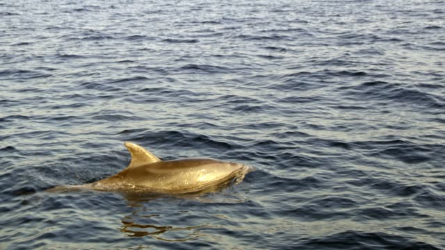 dolphin surfacing on ocean surface, real time - surfacing stock videos & royalty-free footage