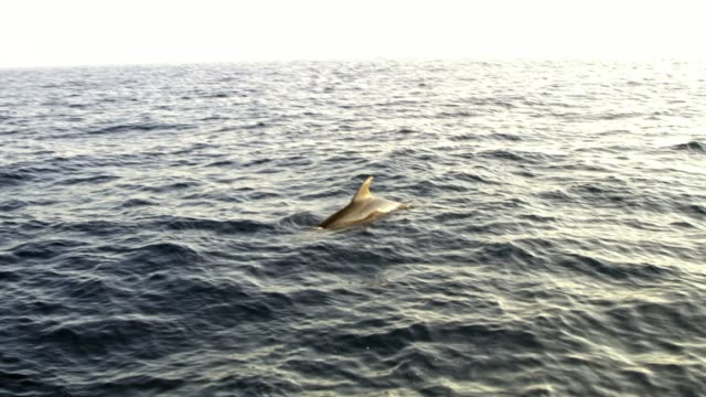 dolphin surfacing on ocean surface, real time - emergence stock videos & royalty-free footage