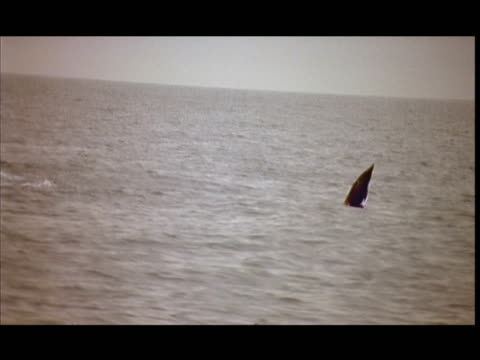 slo mo, ms, dolphin swimming and leaping in ocean, pacific ocean, new zealand - cetaceo video stock e b–roll