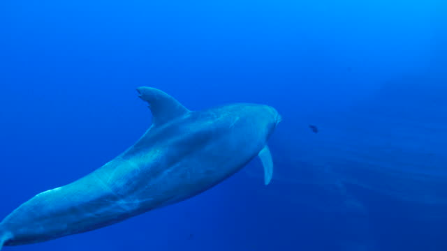 dolphin swimming close to camera - dolphin stock videos & royalty-free footage