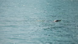 Dolphin swimming gracefully in sea water, wild animals in natural habitat