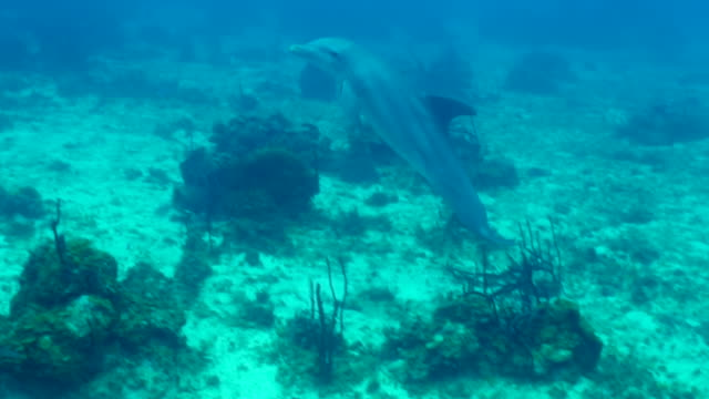 dolphin swimming over ocean floor in blue sea, cetacea moving undersea - montego bay, jamaica - cetacea video stock e b–roll