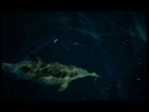 vídeos y material grabado en eventos de stock de ha, dolphin swimming under water surface, baja california, mexico - cetáceo