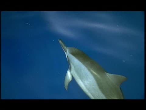 vídeos y material grabado en eventos de stock de ha, dolphin swimming under water surface, pacific ocean, hawaii, usa - cetáceo