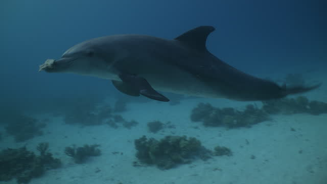 dolphin swimming with piece of dead coral - bottle nosed dolphin stock videos & royalty-free footage