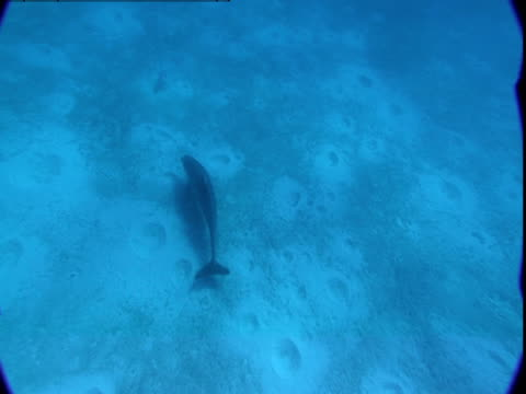 A dolphin swims along a cratered seabed.