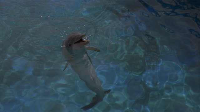 A dolphin swims and plays with a plastic hoop in a pool.
