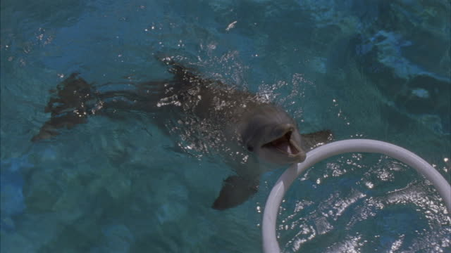 a dolphin swims and plays with a plastic hoop in a pool. - stunt stock videos & royalty-free footage